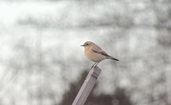ökenstenskvätta1 600x368 Dagens fågel 14   Ökenstenskvätta