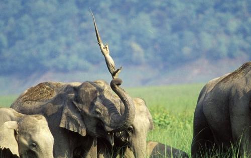 Elefant äger krokodil