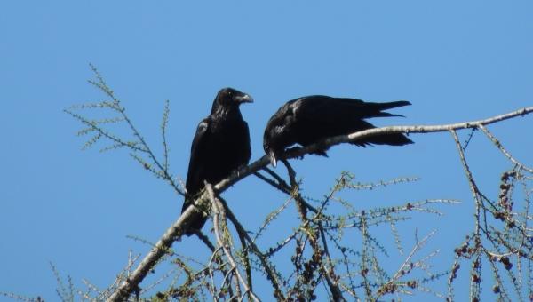 korpar Månadens fåglar   April 2014