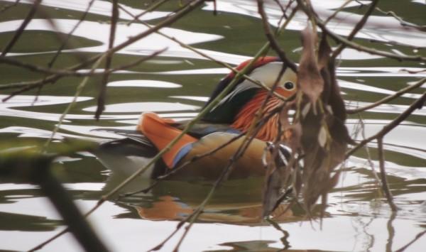 mandarin 600x355 Bra fågelhelg i Västmanland