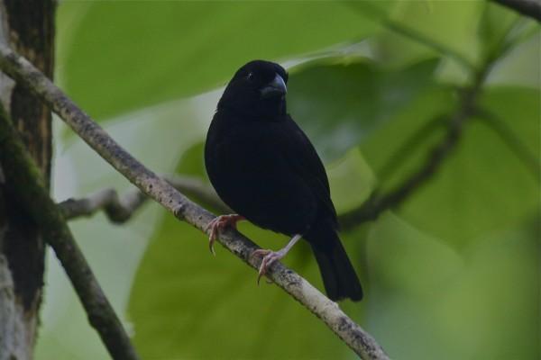 svartfink