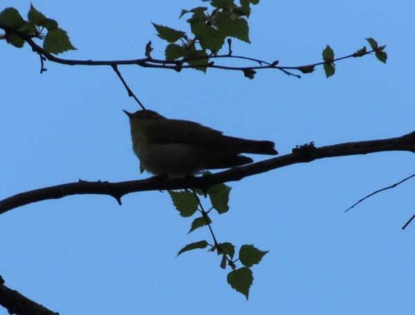 gissa fågeln