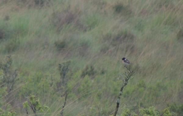 svarthakad buskskvätta1