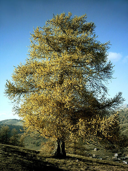 The Larch